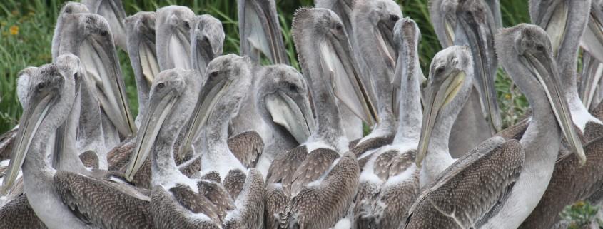 Beacon Island Young Pelicans